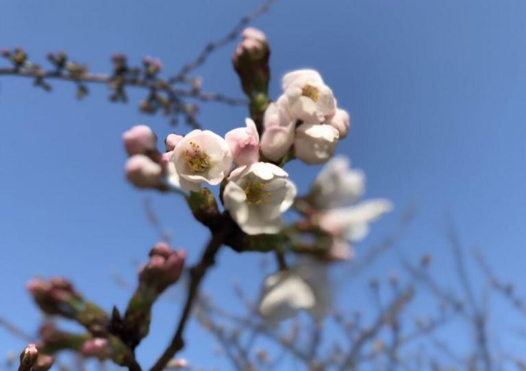 たくコス46!名護屋城桜撮影会開催(3月31日)