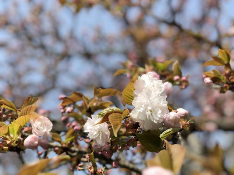 法光寺の八重桜(塩釜桜)