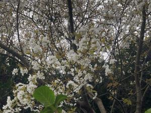 駐車場の山桜が満開です